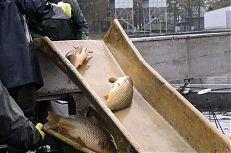 Třídění ryb na rybníku Dvořiště