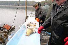 Na třidičce dochází k třídění ryb dle druhu a kategorie.