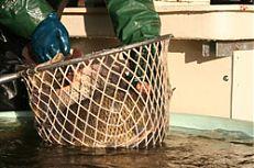 Prodej ryb na sádkách.